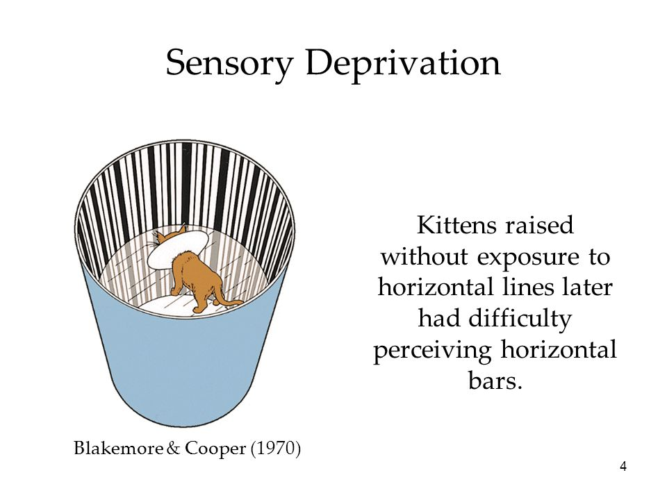 Sensory Deprivation Kittens raised without exposure to horizontal lines later had difficulty perceiving horizontal bars.